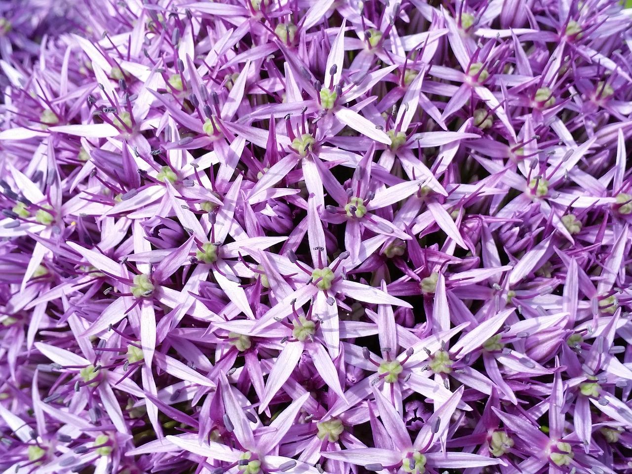 purple-allium-806370_1280
