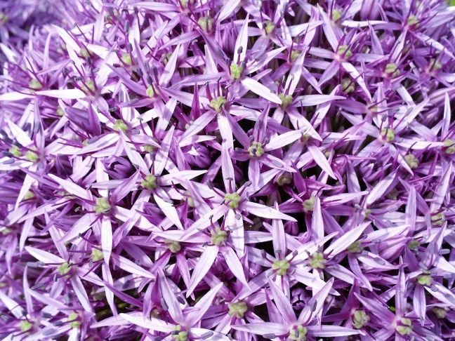 purple-allium-806370_1280